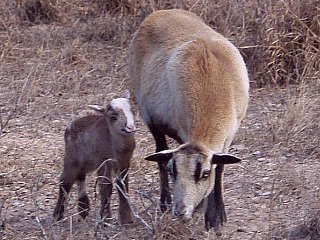 Rock Dove Ranch Texas Barbado sheep and Painted Desert sheep and Trophy Rams